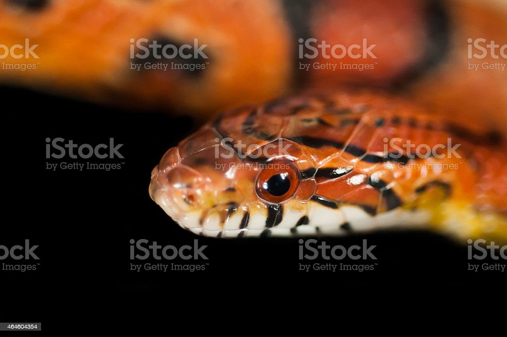 Okeetee corn snake head stock photo