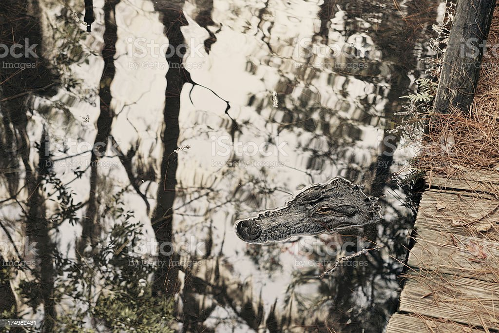 Okefenokee swamp alligator royalty-free stock photo