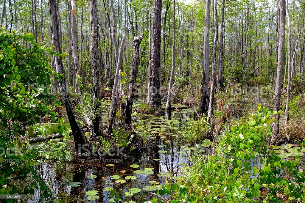 Okefenokee Swamp Beauty. stock photo