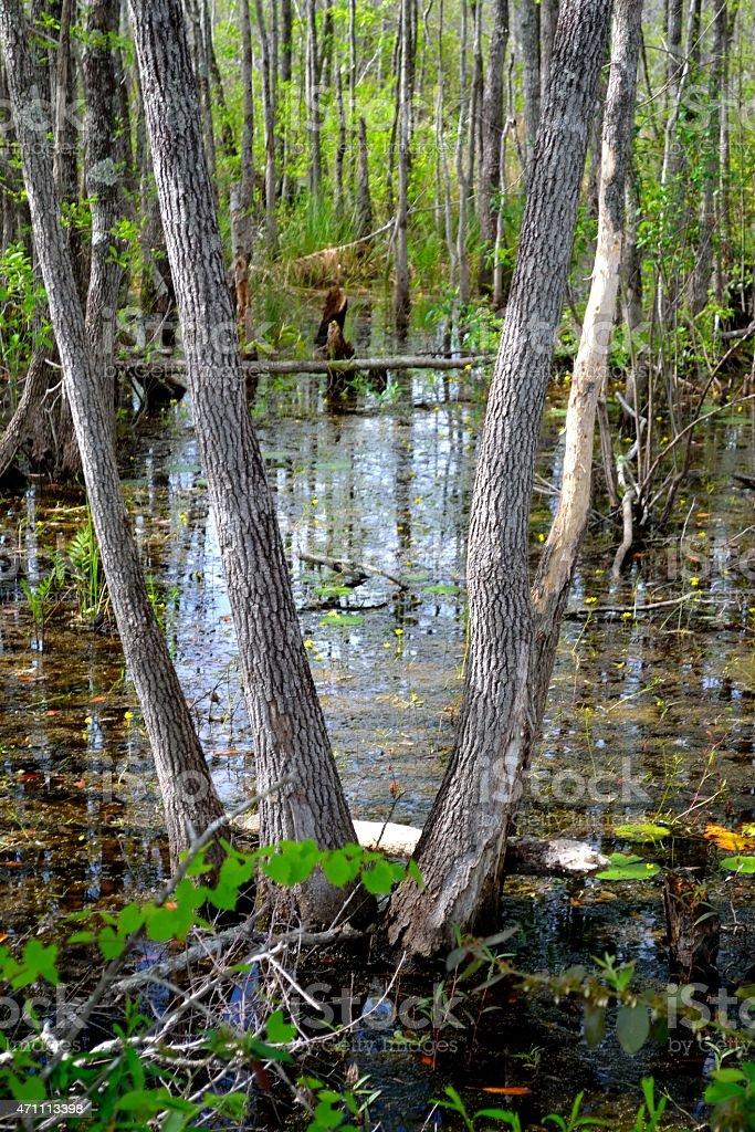 Okefenokee Swamp Scene-1 stock photo