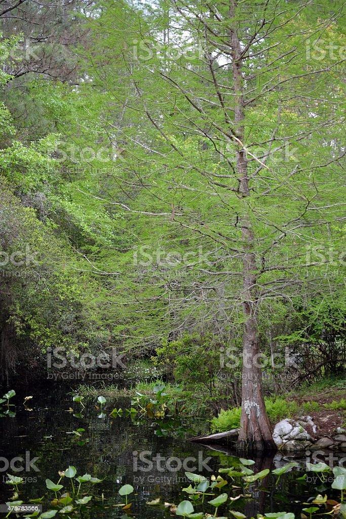 Okefenokee Swamp Scene-A stock photo