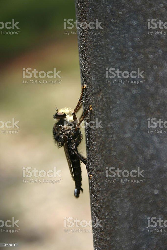 Oklahoma Horsefly royalty-free stock photo