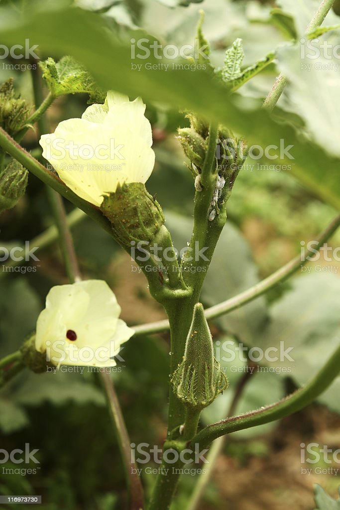 Okra under pest attack stock photo