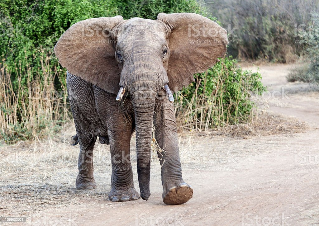 Old African elephant approaching waving her ears. stock photo
