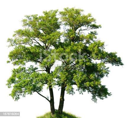 Old Alder Tree isolated on white (Alnus glutinosa).