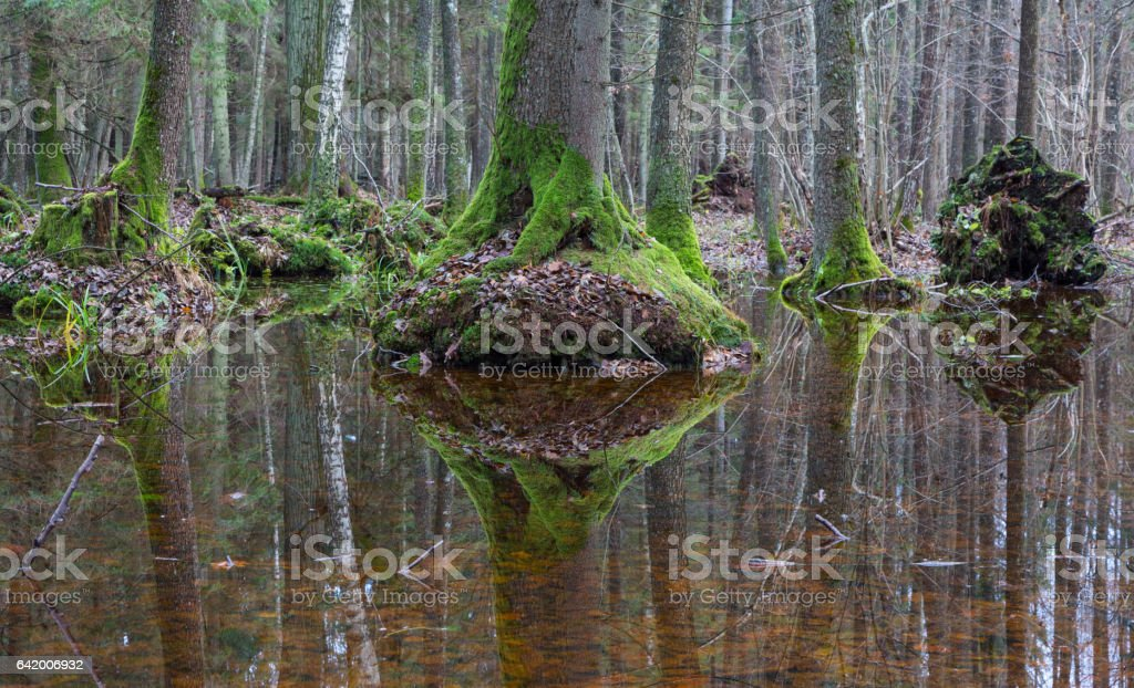 Old alder trees refleciting in water stock photo