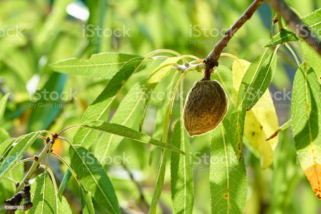 Old almond in almond tree stock photo