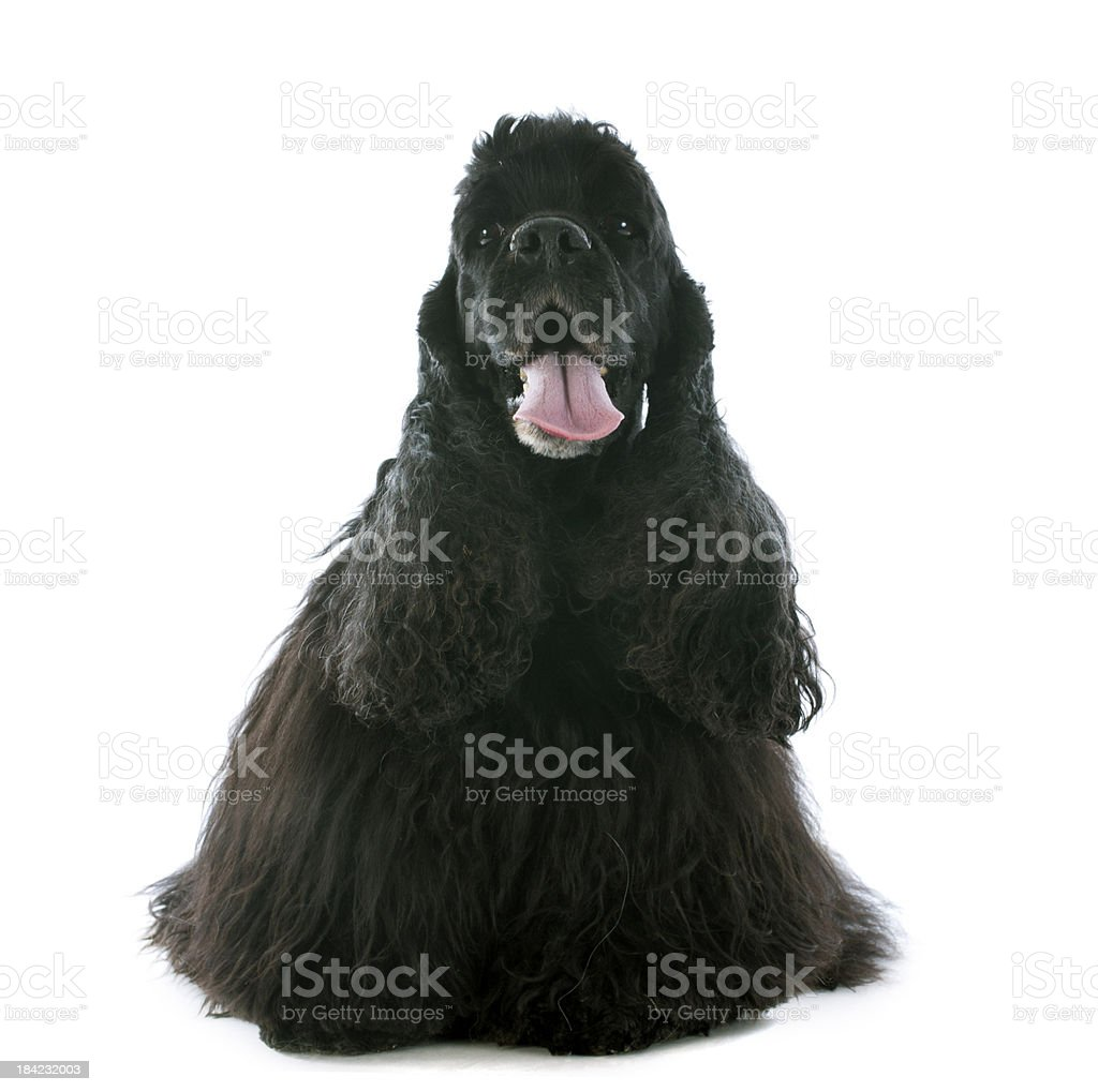 old american cocker spaniel stock photo