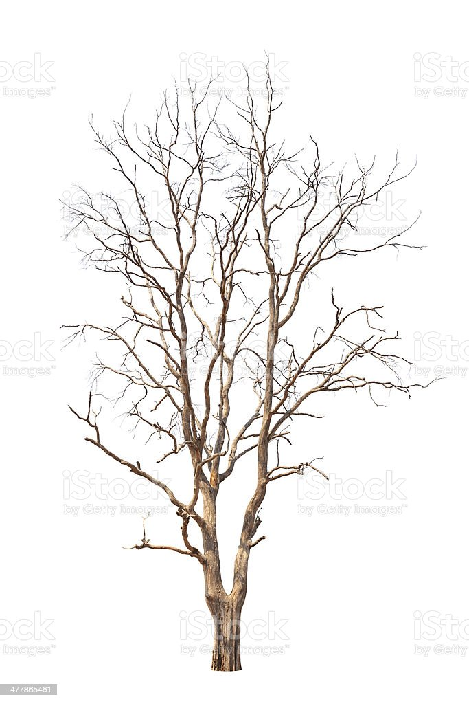 Old and dead tree stock photo