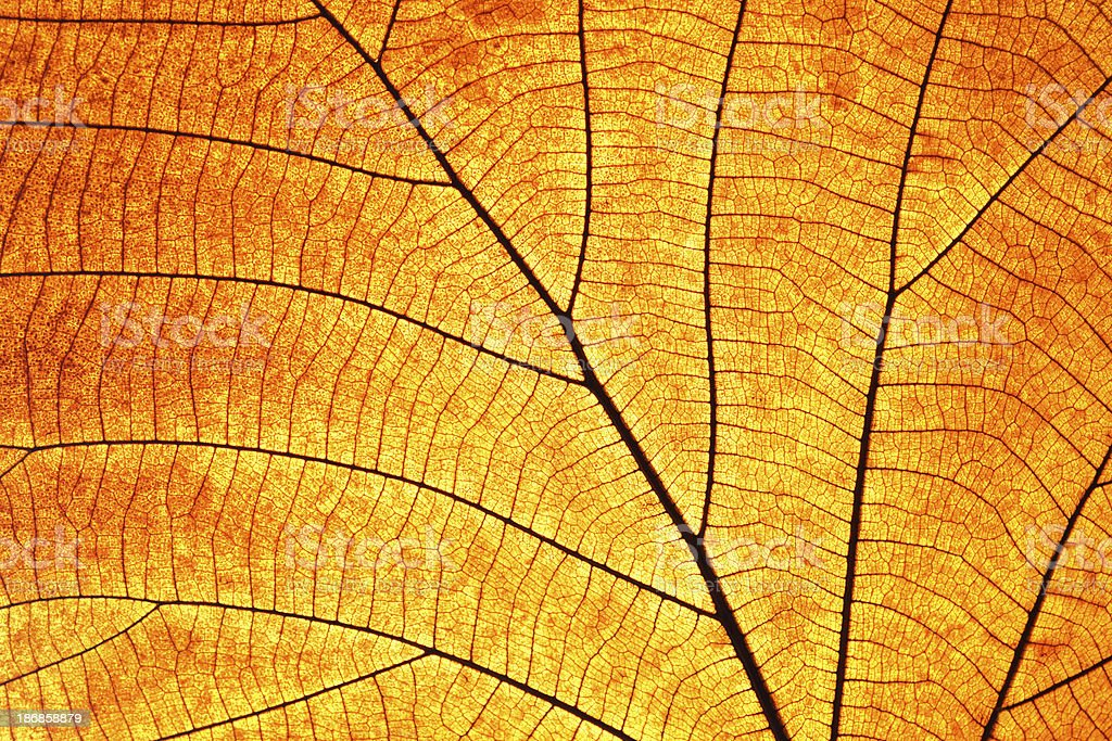Old and dry leaf transparence on back light stock photo
