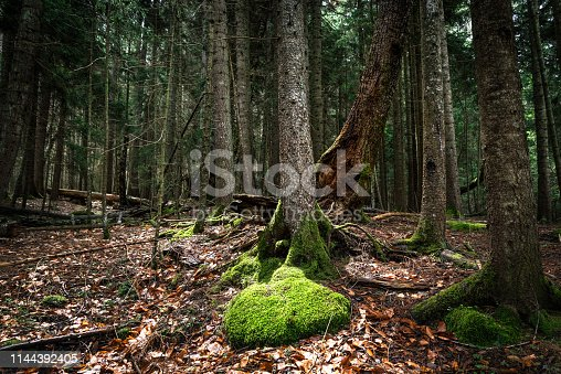 old and fallen trees, leaves covering the ground and moss in the forest
