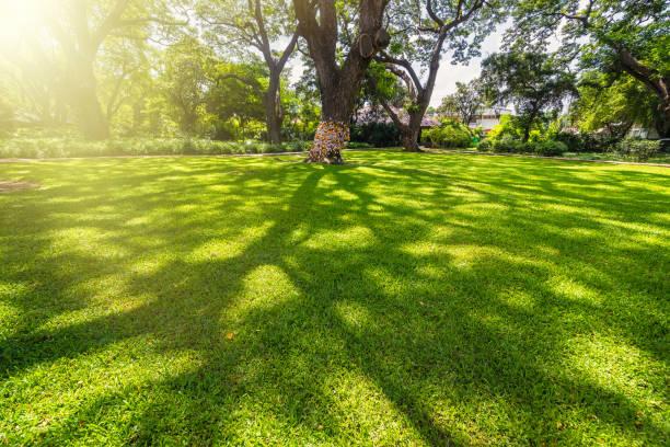 gamla och jätte stora trädet på ett grönt fält med solljus eftermiddag. thailand. - skuggig bildbanksfoton och bilder