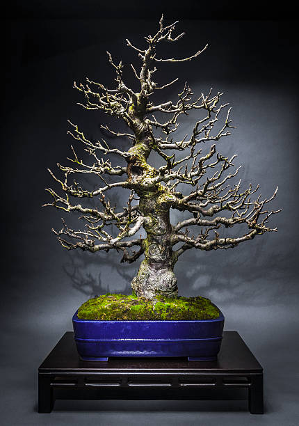 Old Apple Tree Bonsai in Winter – Foto