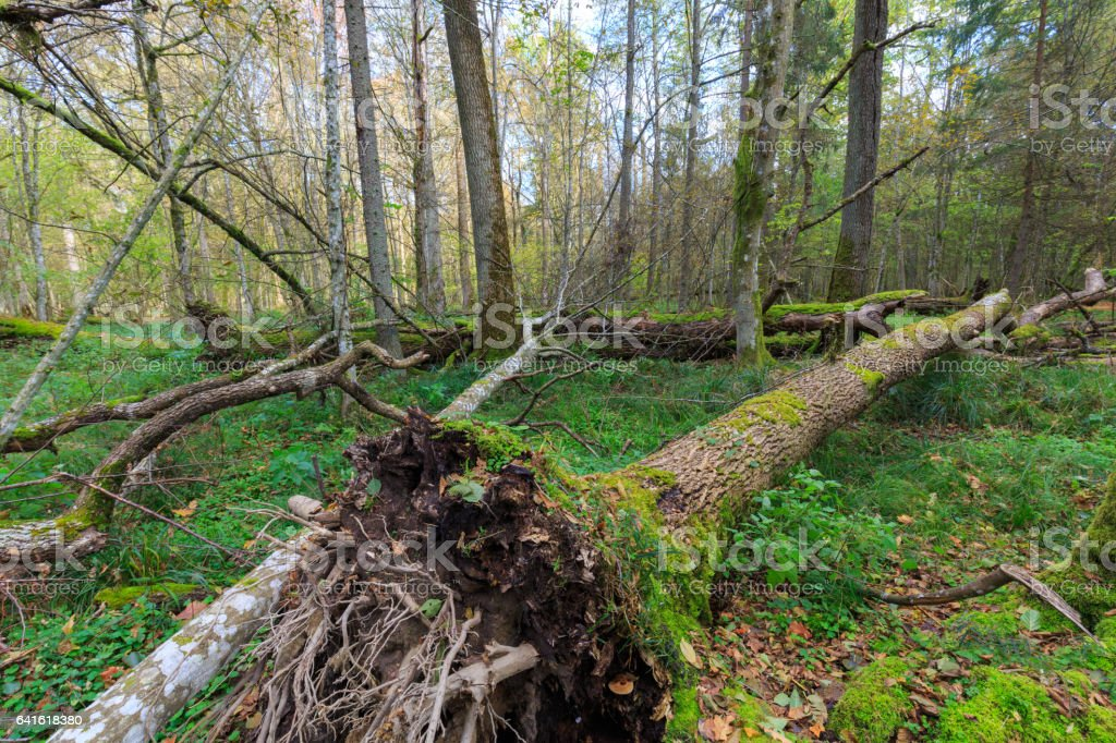 Old ash tree broken lying in autumnal forest stock photo