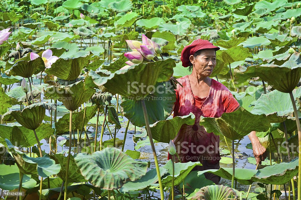 old asian woman take lotus in country pond of thailand royalty-free stock photo