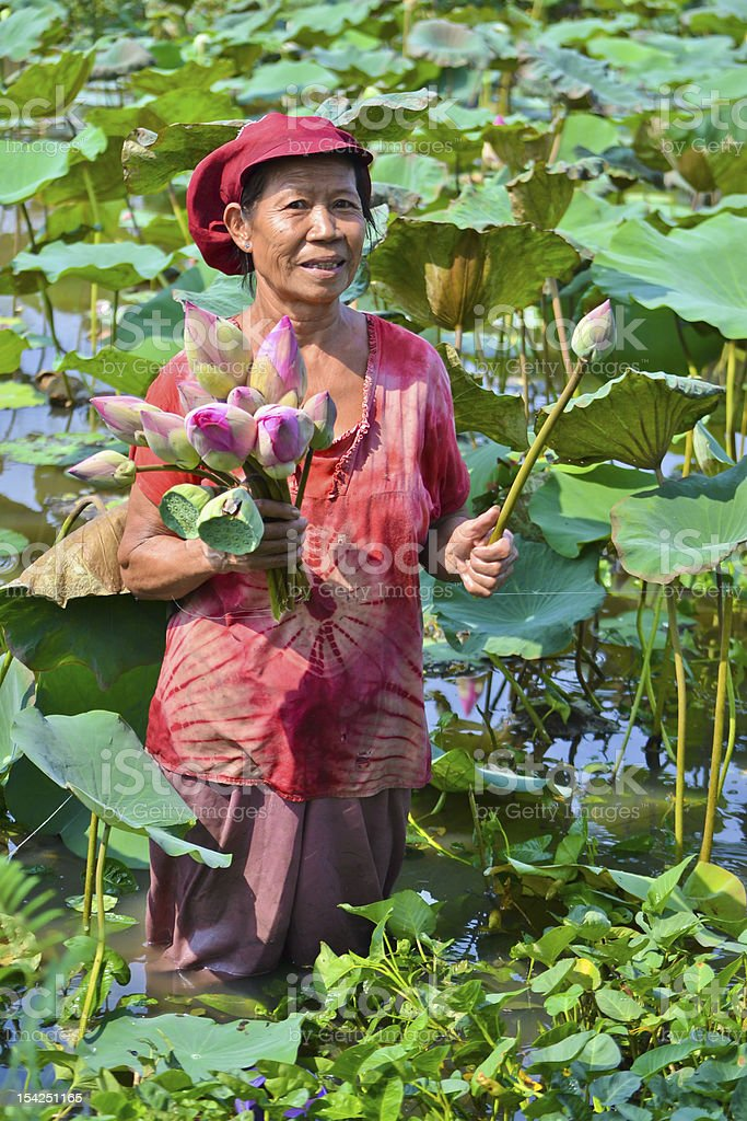 old asian women take lotus in country pond of thailand royalty-free stock photo
