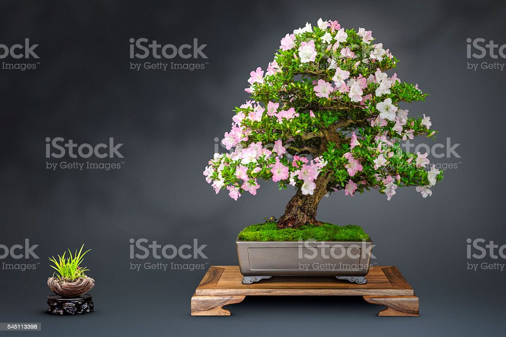 Old Azalea Bonsai with blossoms – Foto