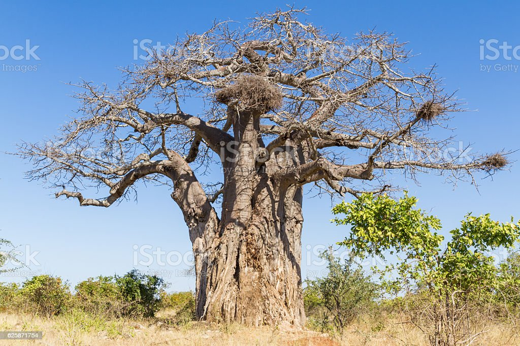 Old Baobab in Winter stock photo