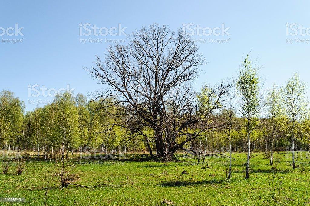 Old bare oak in spring time stock photo