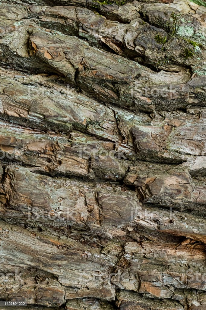 old bark tree oak weathered old surface background rustic strips...