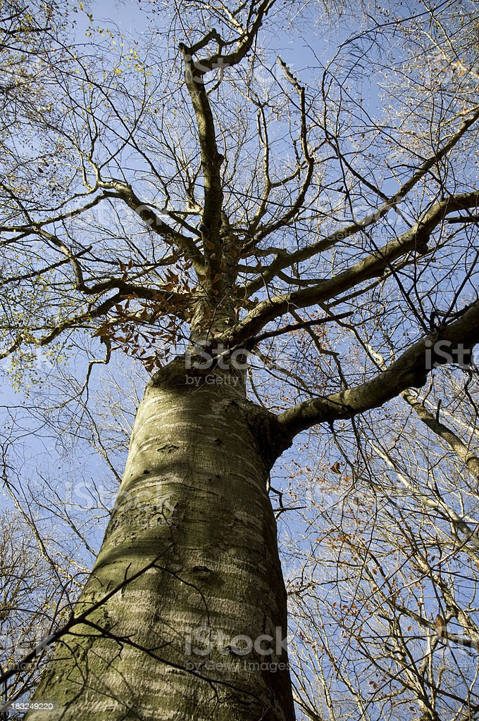 Old Barren Beech Tree royalty-free stock photo