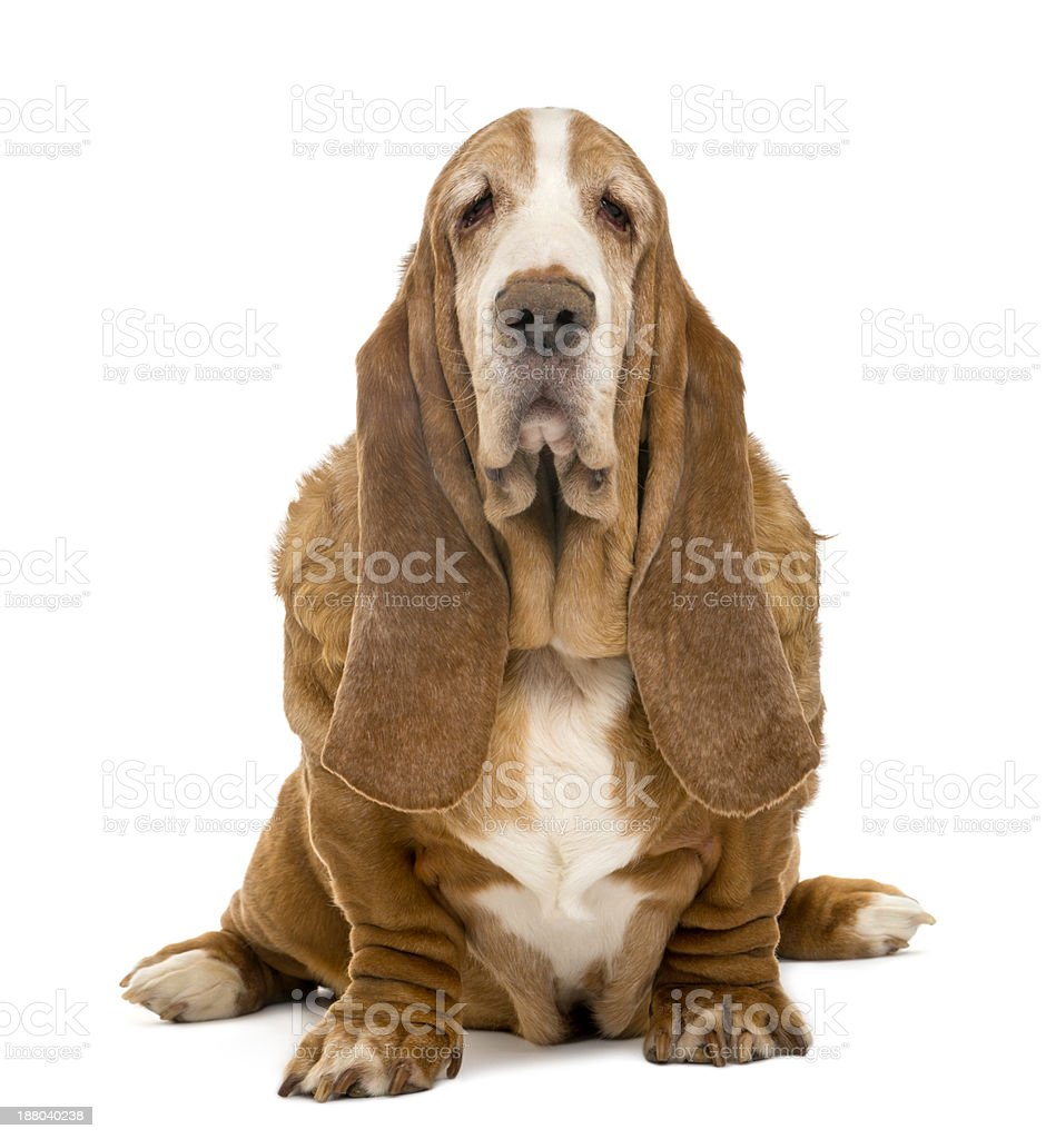Old Basset Hound sitting and looking at the camera stock photo