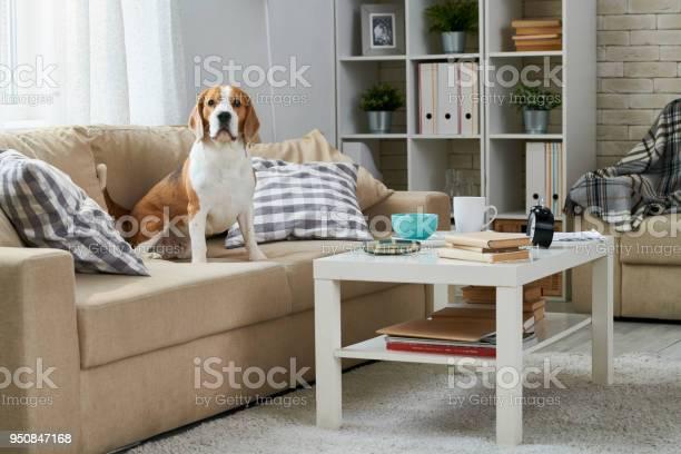 Old beagle sitting on sofa picture id950847168?b=1&k=6&m=950847168&s=612x612&h=fkje6ac t udc8cusodn3gjebyzisggrilrrz fvetq=