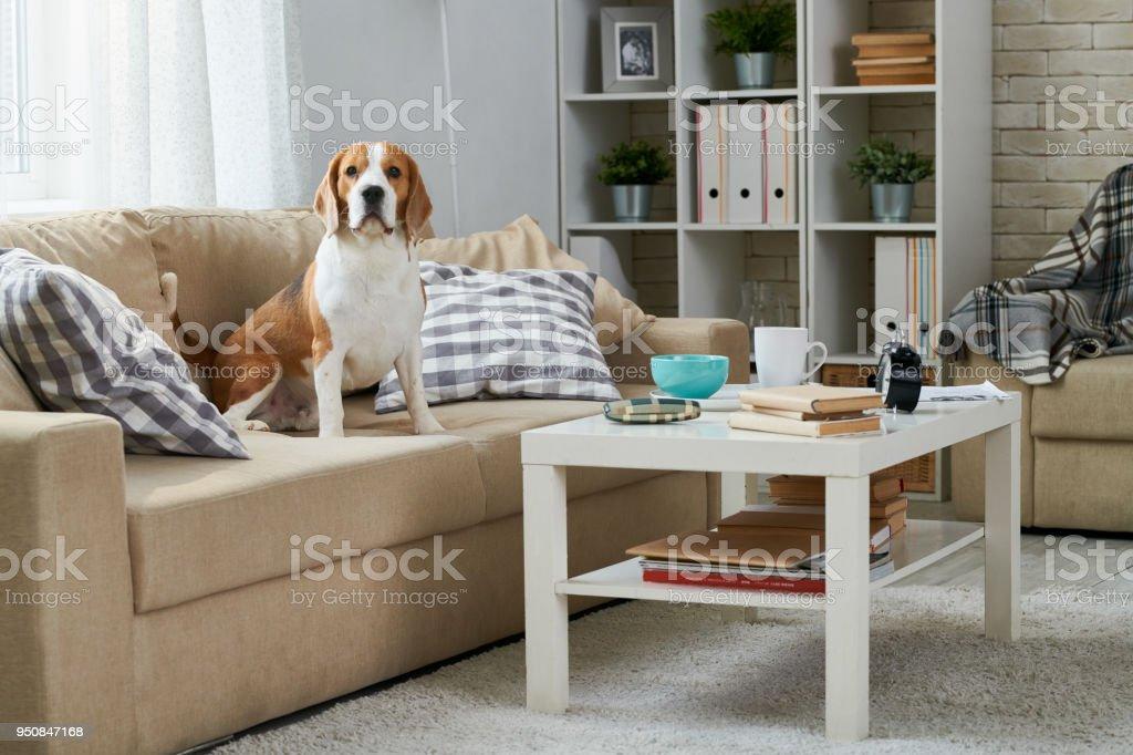 Alten Beagle auf sofa – Foto