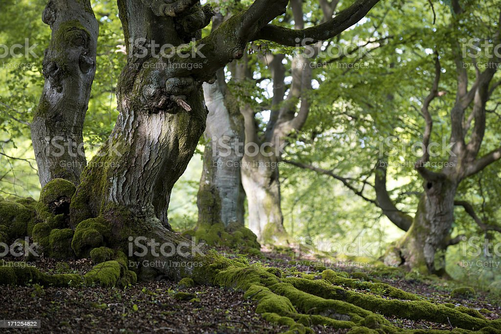 old beech forest in spring stock photo