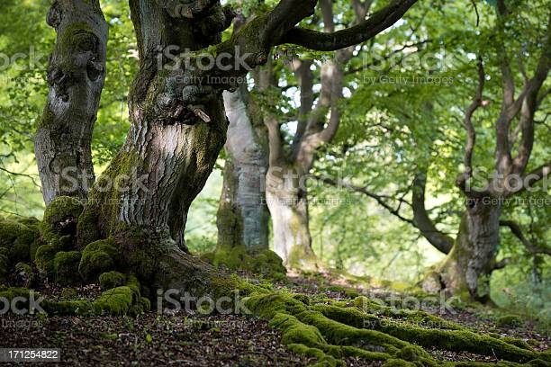 Photo of old beech forest in spring