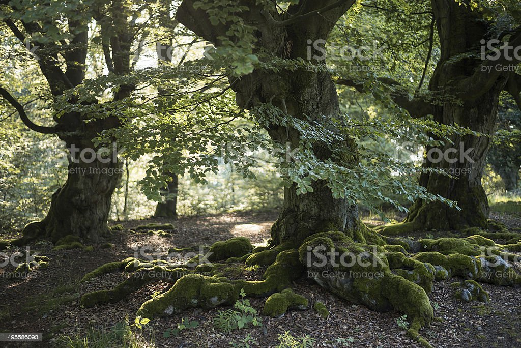 old beech forest stock photo