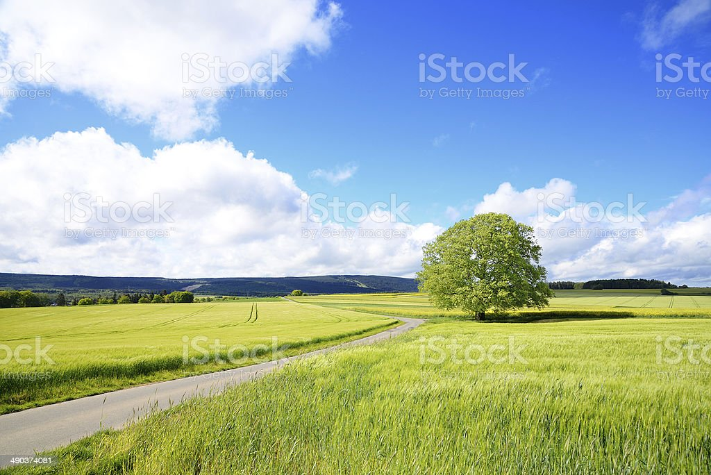 Old Beech Tree at farm road during spring in fields stock photo