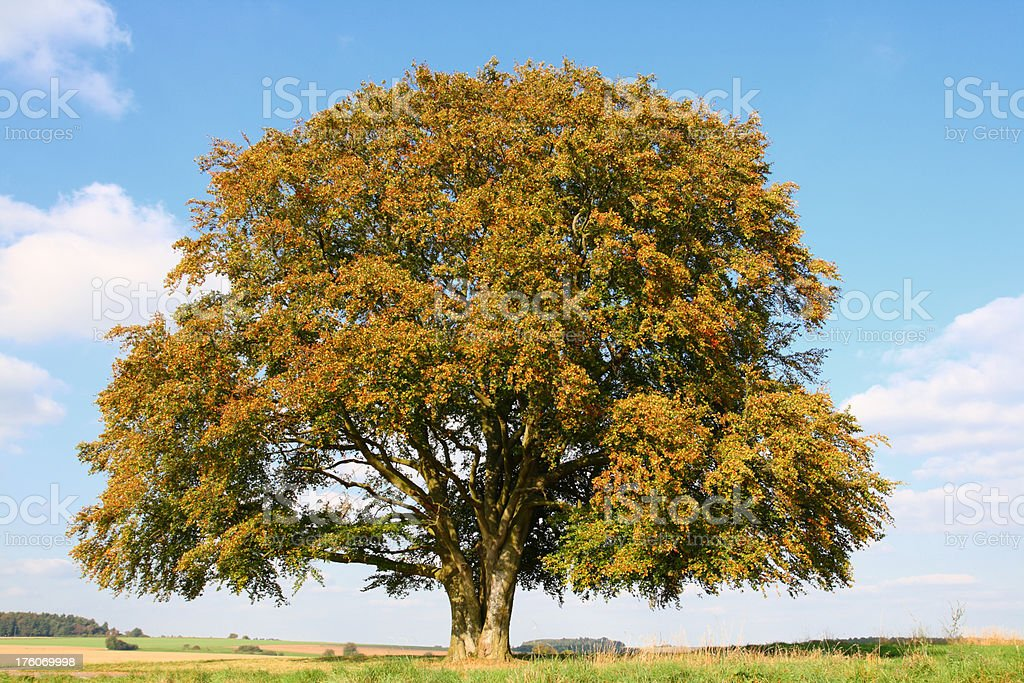 Old Beech Tree in early Fall stock photo