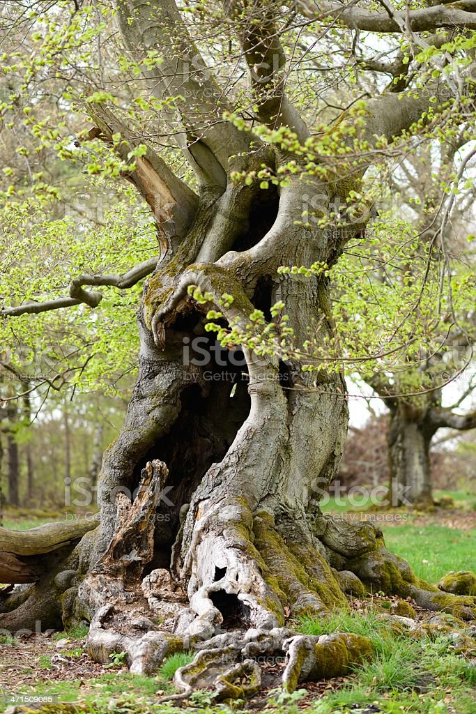old beech tree in spring stock photo