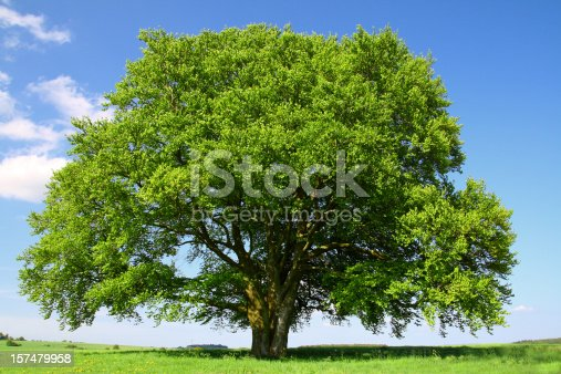 giant old beech tree in full foliage. images of same tree during all 4 seasons within my portfolio.