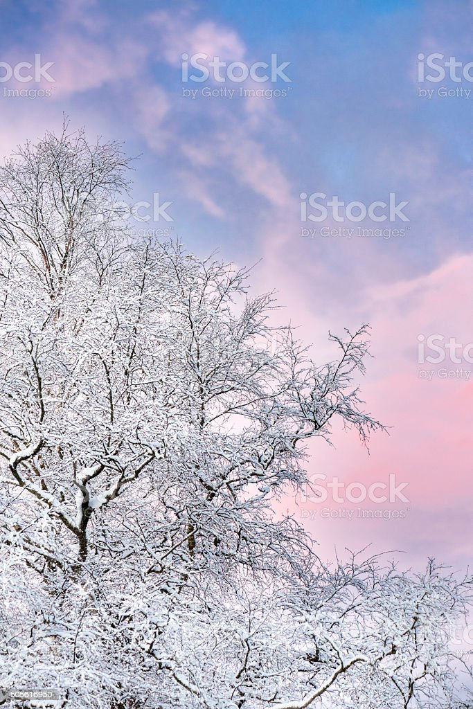 Old beech tree on a winter morning royalty-free stock photo