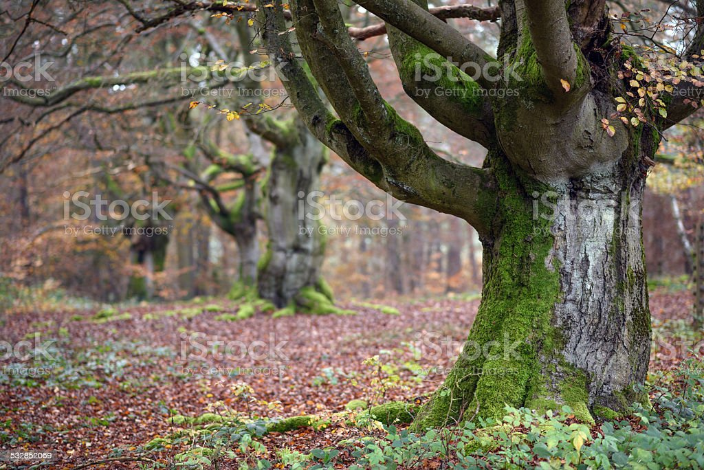 Old beech trees in the old pasture woodland called 'Halloh' near Bad...
