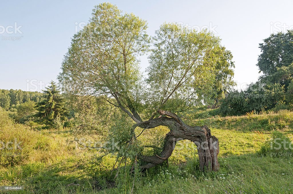 Old bent black poplar tree with crashed crust royalty-free stock photo