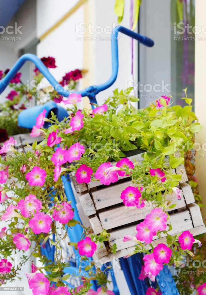 old bicycle with flowers box in summer stock photo