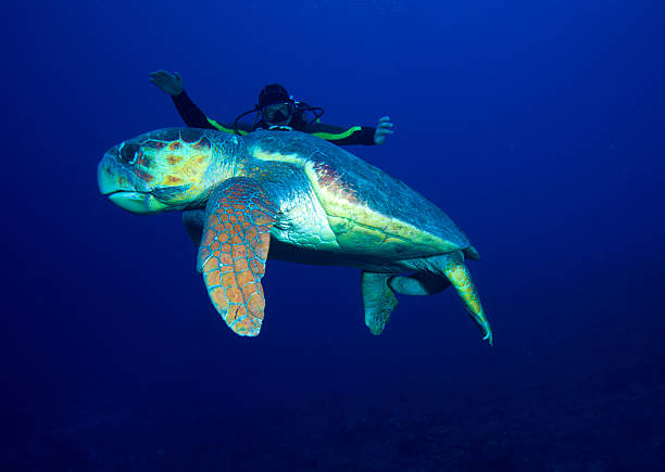 Old big green turtle and diver, Cuba stock photo