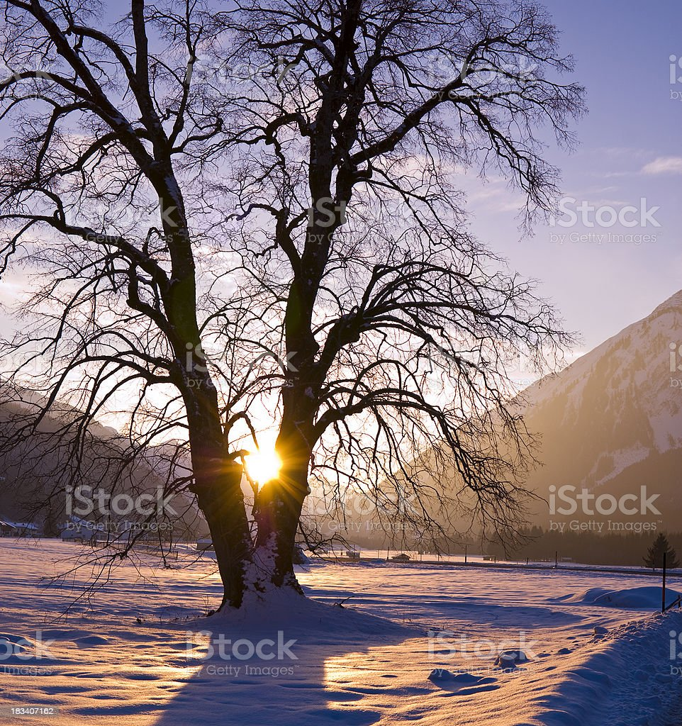Old big tree in the warm violett winter sun royalty-free stock photo