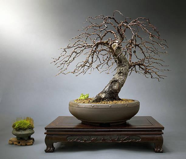 Old birch Bonsais im japanischen Tisch – Foto