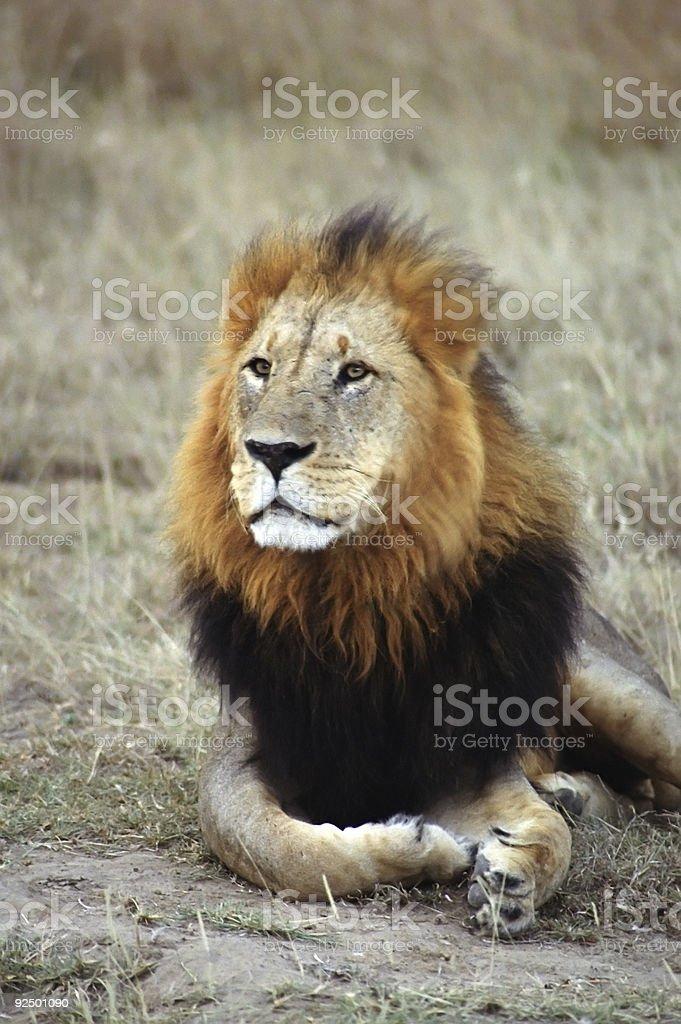 Old Black Maned Lion royalty-free stock photo