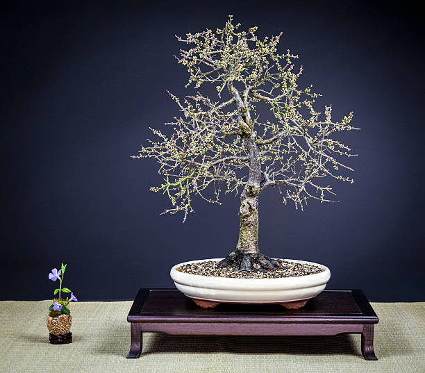Old blooming blackthorn Bonsai – Foto