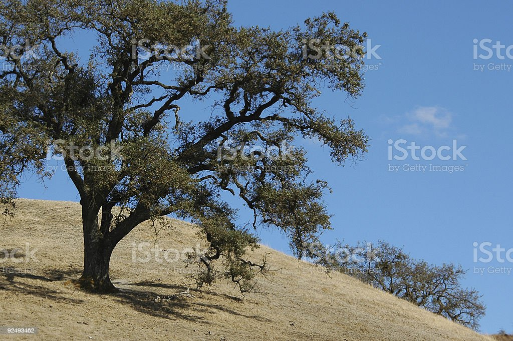 old blue oak, Quercus douglasii royalty-free stock photo