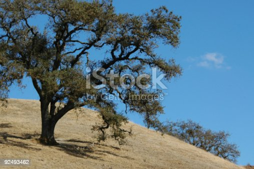 Gnarled old blue oak tree,