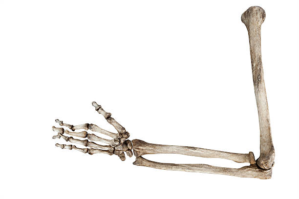 old bones of the human hand isolated on white background - human skeleton stock photos and pictures