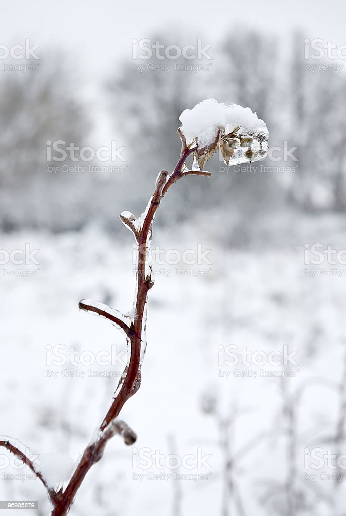 Old branch of bush. Fresh ice and snow. royalty-free stock photo