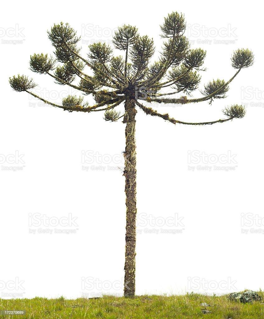 Old Brazilian Pine (Araucaria angustifolia) isolated on white royalty-free stock photo