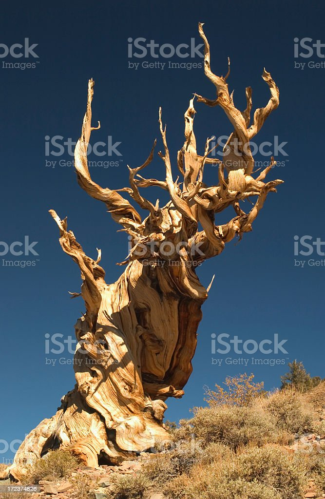 Old Bristle Cone Pine Tree royalty-free stock photo
